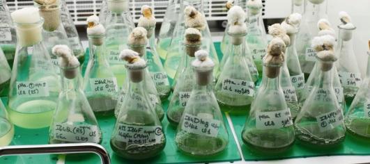 Cultures-de-micro-algues-en-laboratoire-photo-CEA