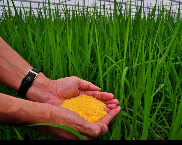 Golden-rice