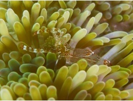 Stichodactyla helianthus - Sun anemone