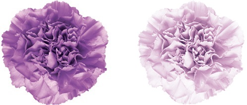 From left to right: Carnation Moonlite and Moonaqua, two of the approved GMOs. Source: Florigene