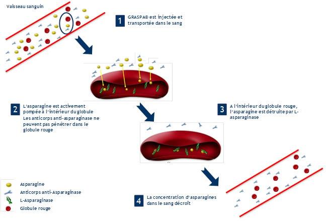 Mode of operation. Source: Erytech Pharma