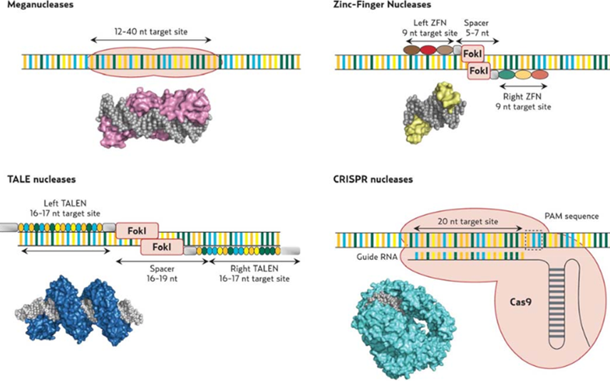 The four nucleases technologies: schemes and 3D molecular views. (Source: Figure 6 from Boston Consulting Group Review)