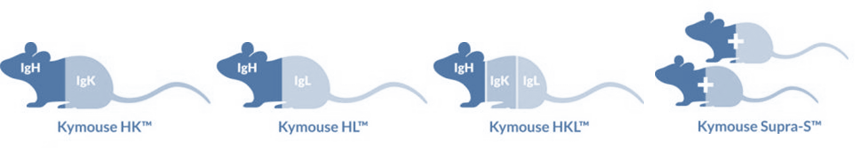 The Kymouse™ platform comprises multiple mouse strains, each with its own diversity profile enabling a broader range of antibodies than immunising a single mouse strain. These include Kymouse HK™ containing human heavy and kappa variable sequences, Kymouse HL™ containing human heavy and lambda variable sequences, Kymouse HKL™ containing all human variable antibody sequences (available 2Q 2015) - A set of 6 Kymouse Supra-S™ strains with subsets of the human repertoire (available 2Q 2015) S: Kymab