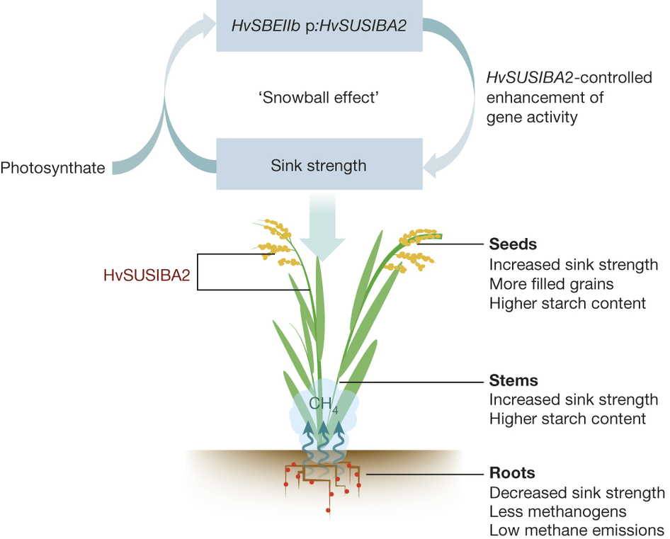 Expression of barley SUSIBA2 transcription factor yields high-starch low-methane rice. (Source: Nature 523, 602–606 doi:10.1038/nature14673)