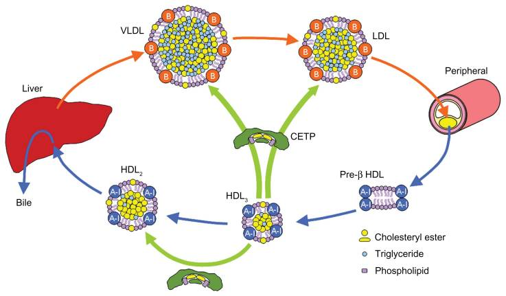 CETP inhibitors prevent the conversion of HDL back into LDL (which contributes to Atherosclerosis).