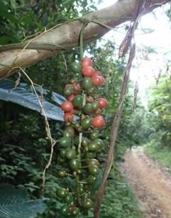Serendipity Berry