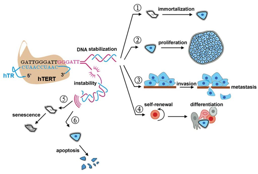 Overexpression of the hTERT gene causes (1) immortalization of primary human cells; (2) proliferation of tumor cells, (3) tumor metastasis and invasive potential and (4) maintenance of stem cell pluripotency. Repression of hTERT results in telomere loss and the following: (5) non-prevention of stress-induced aging of normal cells and (6) apoptosis of the tumor cell. (Source: Lü et al. Spandidos Publications DOI: 10.3892/or.2012.2036)