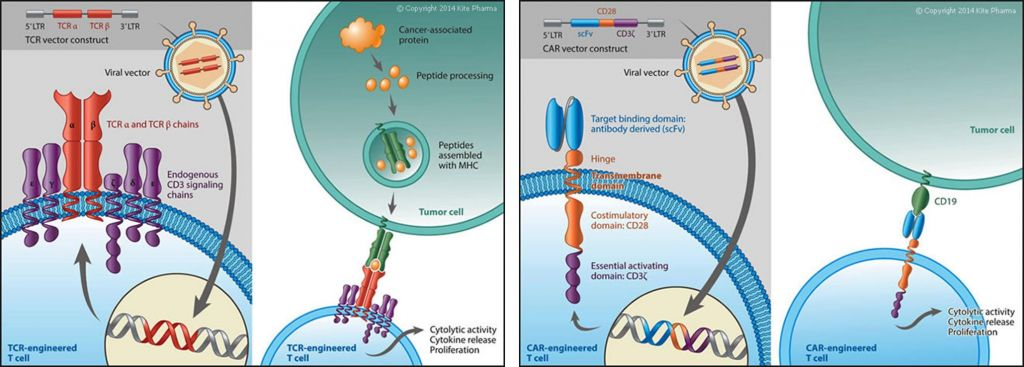 Recognizes a tumor antigen epitope presented by the major histocompatibility complex (MHC) on the tumor cell along with T cell activating domains. TCR products recognize tumor antigens irrespective of their cellular localization.