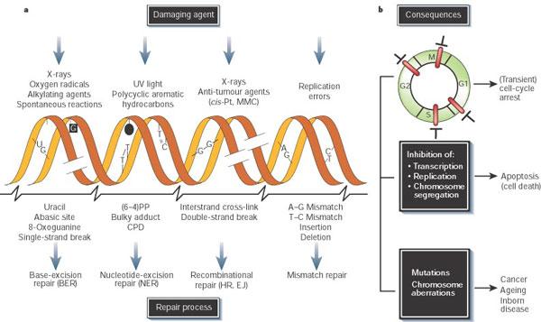 Credit: Nature Publishing Group Hoeijmakers, J. H. J. Genome maintenance mechanisms for preventing cancer. Nature 411, 366–374 (2001)