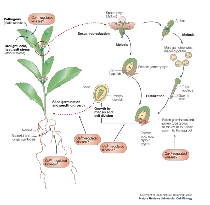 CCaMDK Regulators are crucial in Angiosperm (flowering plant) development, establishment of symbiotic relationships with A funghi and also help the plant resist biotic and abiotic stresses. (Source: Harper & Harman - Nature Reviews Molecular Cell Biology 6, 555-566 doi:10.1038/nrm1679)
