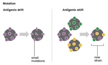 Novel Strains arise at a fast rate through Antigenic shift (Source: IAFF)