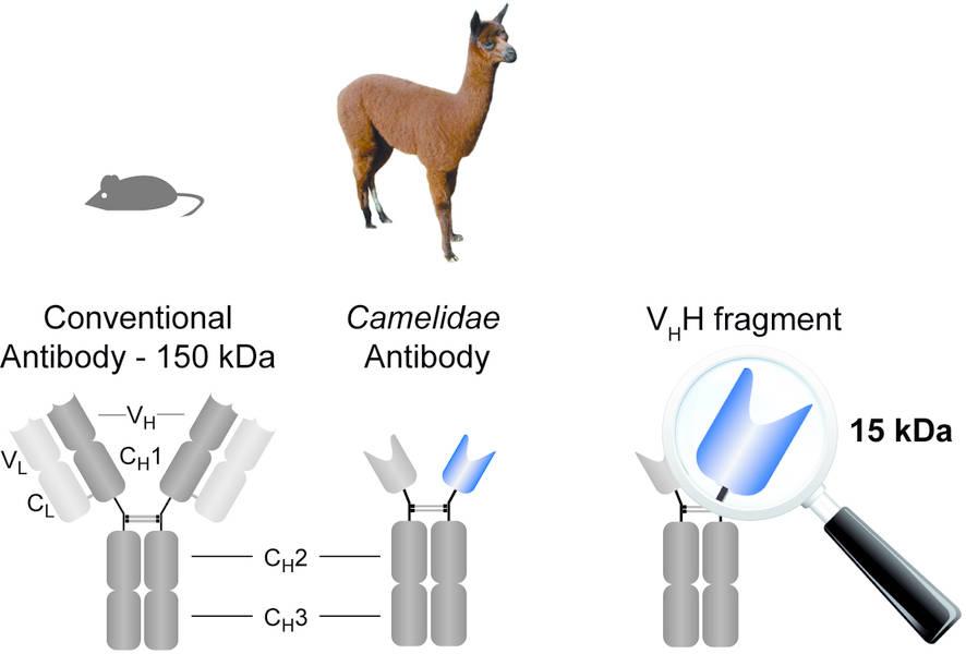 ablynx_nanobody_camelidae_alpaca