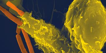 bacteria_neutrophil_immune_response_RNA