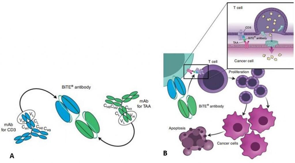 bliclynto_bite_amgen_bispecific_antibody_biluromomab