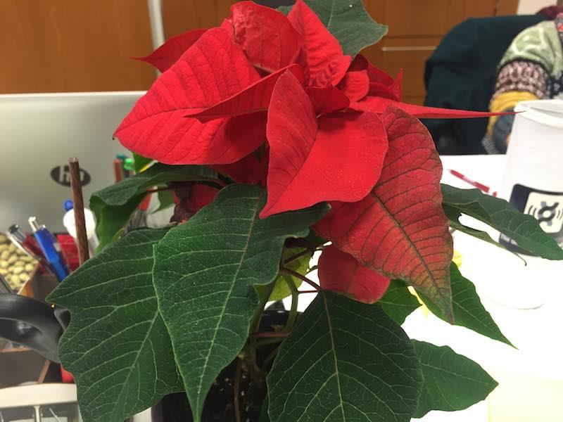 christmas_plant_germany2