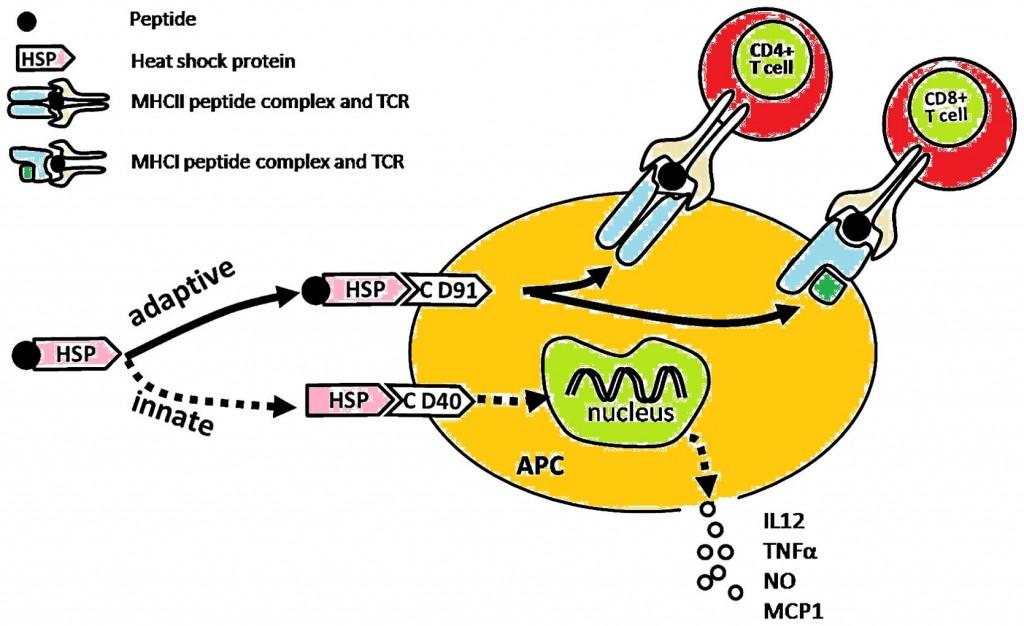 mbio_vaccine_pneumonia_heat_shock_proteins