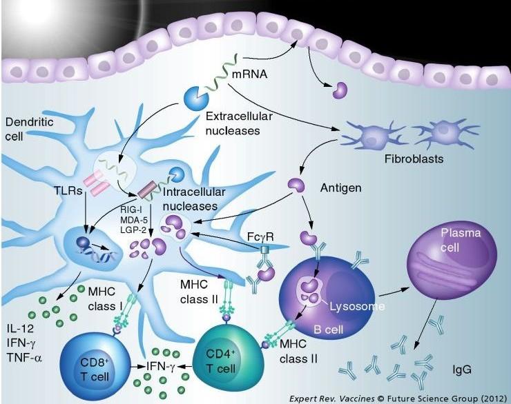 mRNA_immune_response_vaccine_MHCI_MCHII