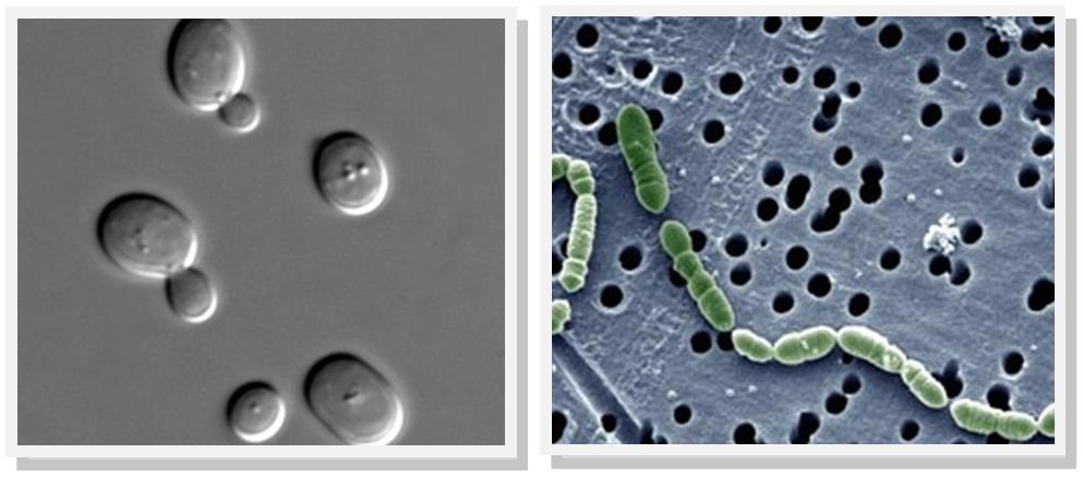 micrbobes_lactobacillus_saccharomyces_cerevisiae_brewing_fermentation_biotech_wine_champagne_silvester