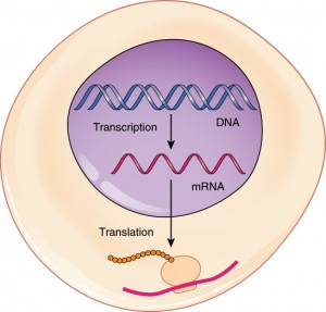transcription_translation_mRNA_DNA