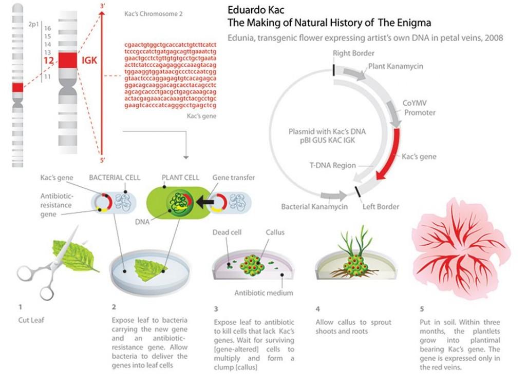 educardo_kac_transgenic_bioart_biotech_eugenia_flower