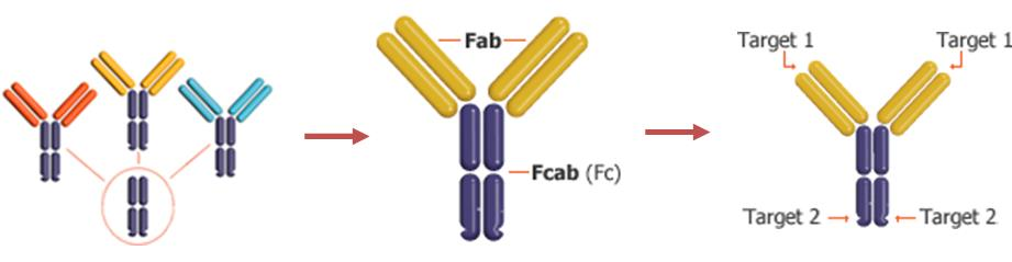 f-star_bispecific_antibodies_fcab_mab2_abbvie