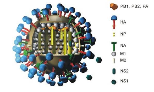 h5n1_bird_flu_avian_human_cells