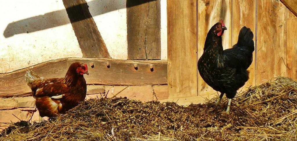 chicken_avian_influenza_bird_flu_h5n1_host_imperial