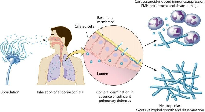 MATHIAS_Infectious-life-cycle-of-A-fumigatus-Aspergillus-is-ubiquitous-in-the