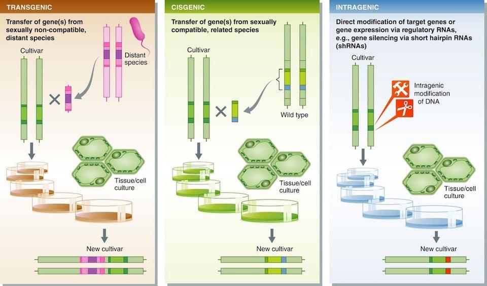 transgenic_agriculture_cisgenesis_gmo_italy_biotech