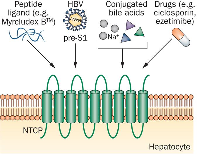 hepatera_myrcludex_b_hepatitis_b_myr_maxwell_rvc_russian_biotech