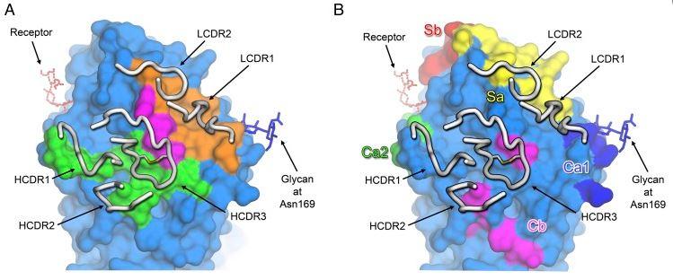 humabs_cellclone_antibody_influenza_a