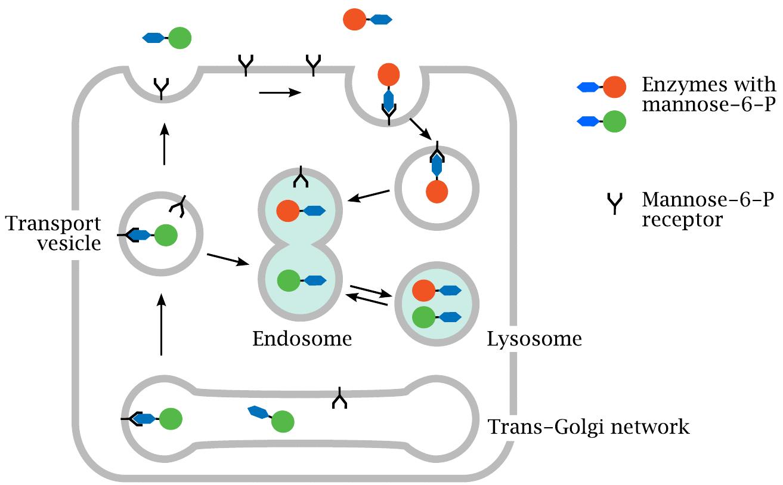 m6p_receptor_lysossomal_enzyme_pompe_disease_sanofi_genzyme_replacement_therapy