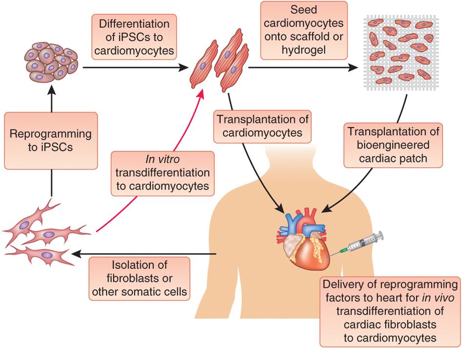 tissue_engineering_myocardial_infarction_heart_patch_bionic_cybord_tel_aviv_university_tau_dvir_feiner_nature_materials