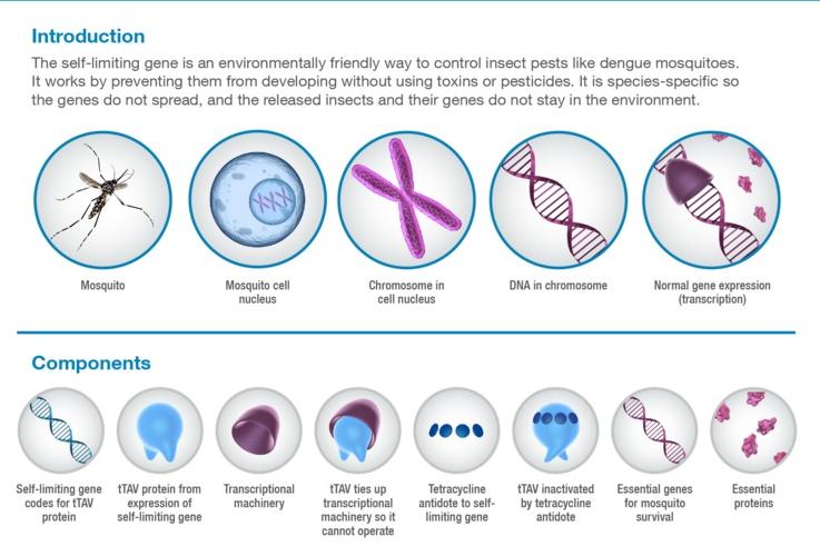 zika_oxitec_mosquito_fda_genetic_engineering_release_infectious_disease_oxford