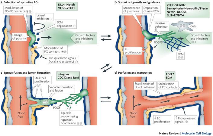 angiogenesis vegf mrna therapy cardiovascular disease