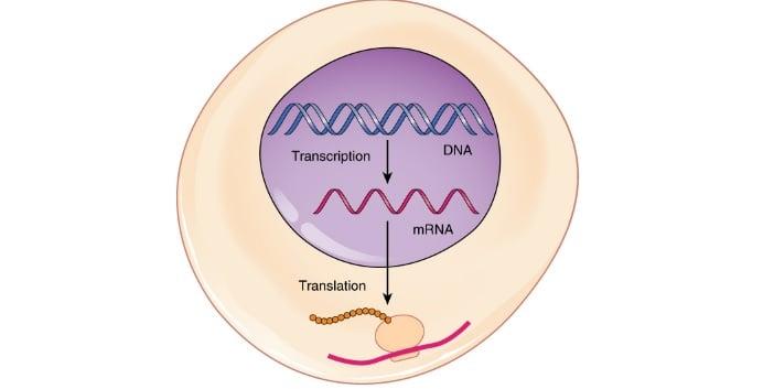 mrna therapies trancription translation moderna