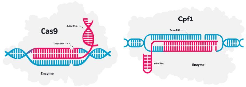 Allergan Editas Medicine CRISPR Cas9 Cpf1