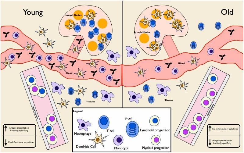 Immunosenescence Novartis PureTech - Edited