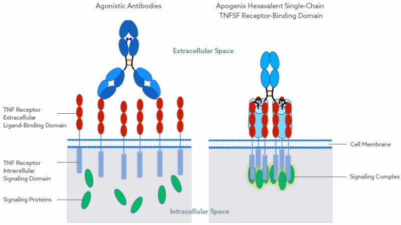 Apogenix Immuno-Oncology Clinical Trial HERA Technology platform