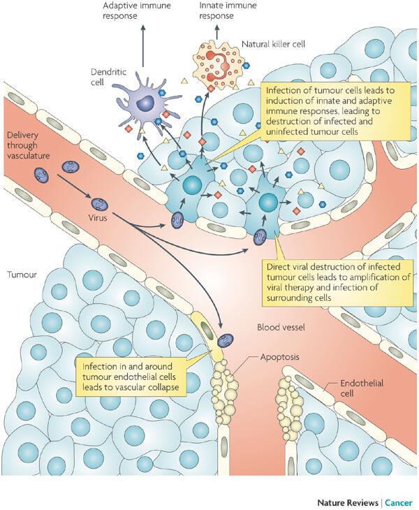 transgene oncolytic virus vaccine Pexa Vec