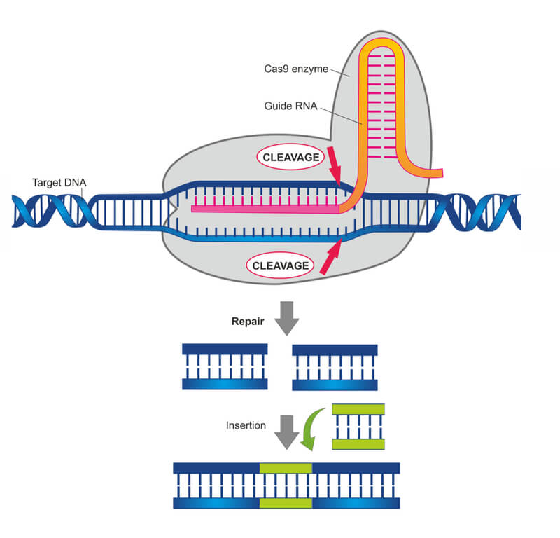 crispr-cas9-review-gene-editing-tool