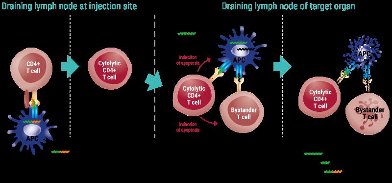 imcyse diabetes immunotherapy