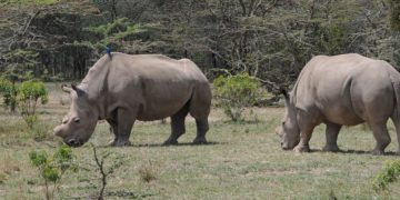 Zoo feature - Northern White Rhino