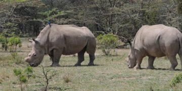Zoo feature - Northern White Rhino
