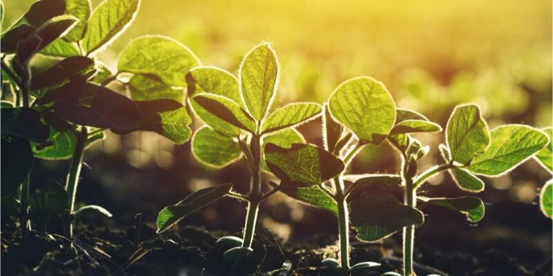 Soybean-GMO