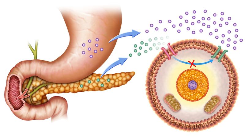 How the stomach and pancreas impact insulin and blood glucose levels