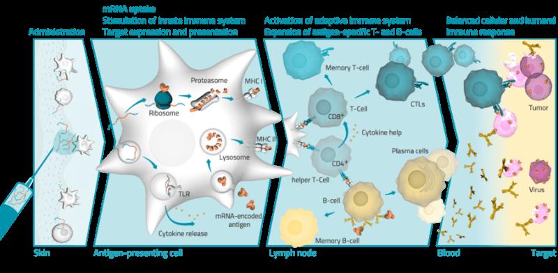 CureVac mRNA cancer vaccine RNActive