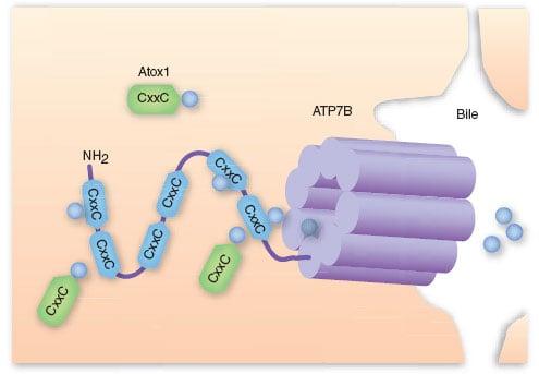 wilson's disease ATP7B