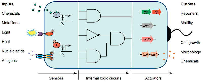 Designing cell circuits