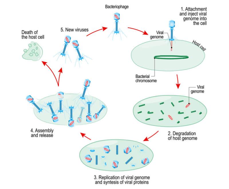 phage-prevent-food-poisoning